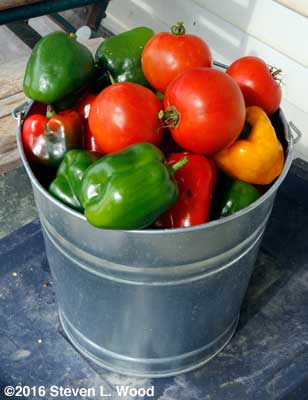 Pepopers and tomatoes on October 19!