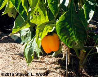 A late ripening Mecate pepper