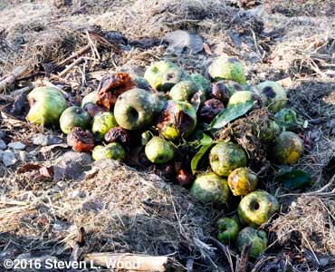 Cull apples on compost pile