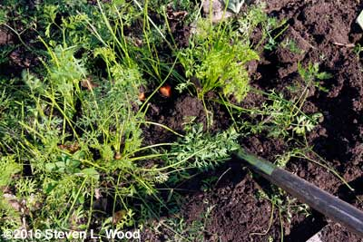 Lifting carrots with heavy garden fork