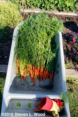 Carrots in garden cart