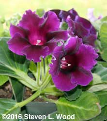 Purple blooming gloxinia