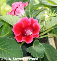 Red (magenta?) blooming gloxinia