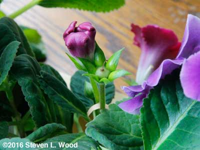 Gloxinia bud (ovary) maturing seed