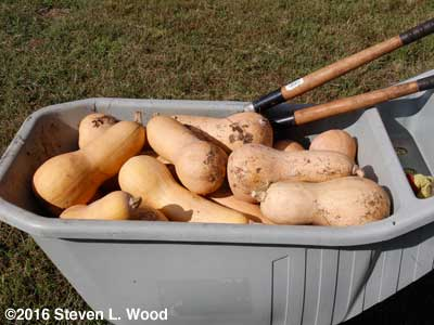 Bumper crop of butternut squash
