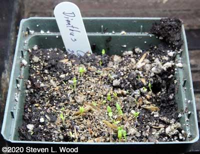 Dianthus emerging