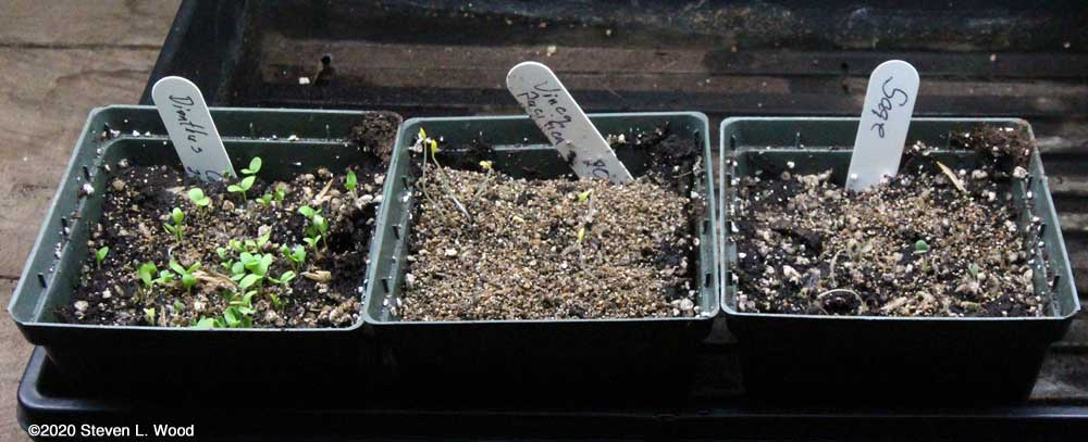 Dianthus, vinca, and sage starts