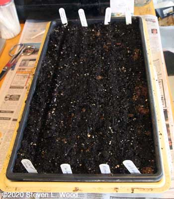 Planting seed flat to onions