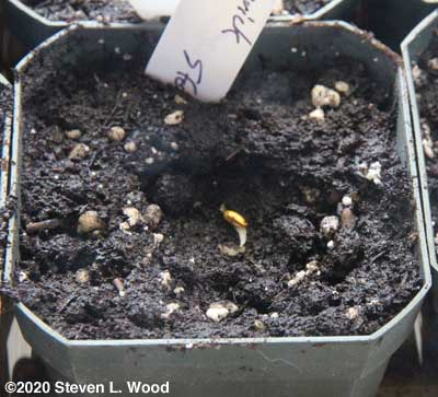 Germinated geranium seed moved to three inch pot
