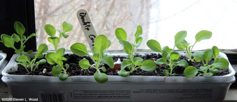 Double Cascade petunias growing in egg cartons