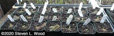 Geraniums off soil heating mat