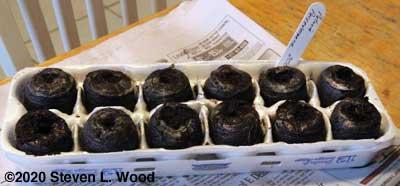 Peat pellets seeded to petunias