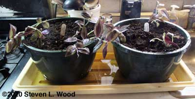 Wandering Jew cuttings moved to hanging basket pots