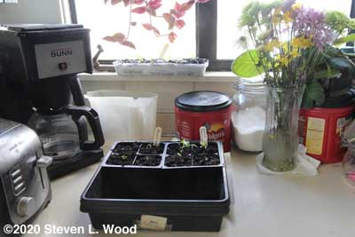 Perseverance petunias repotted
