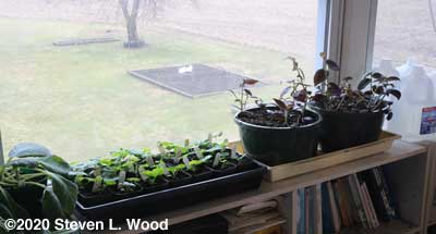 Plants moved to sunroom