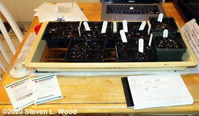 Seeding lettuce