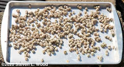 Treated pea seed drying on cookie sheet