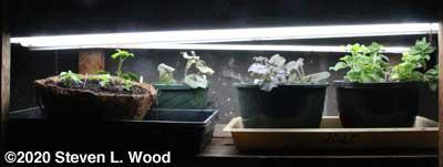 Hanging basket plants under plant lights