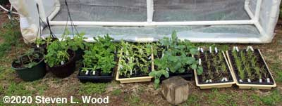 Cold frame plants - March 25, 2020