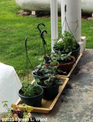 More hanging basket plants