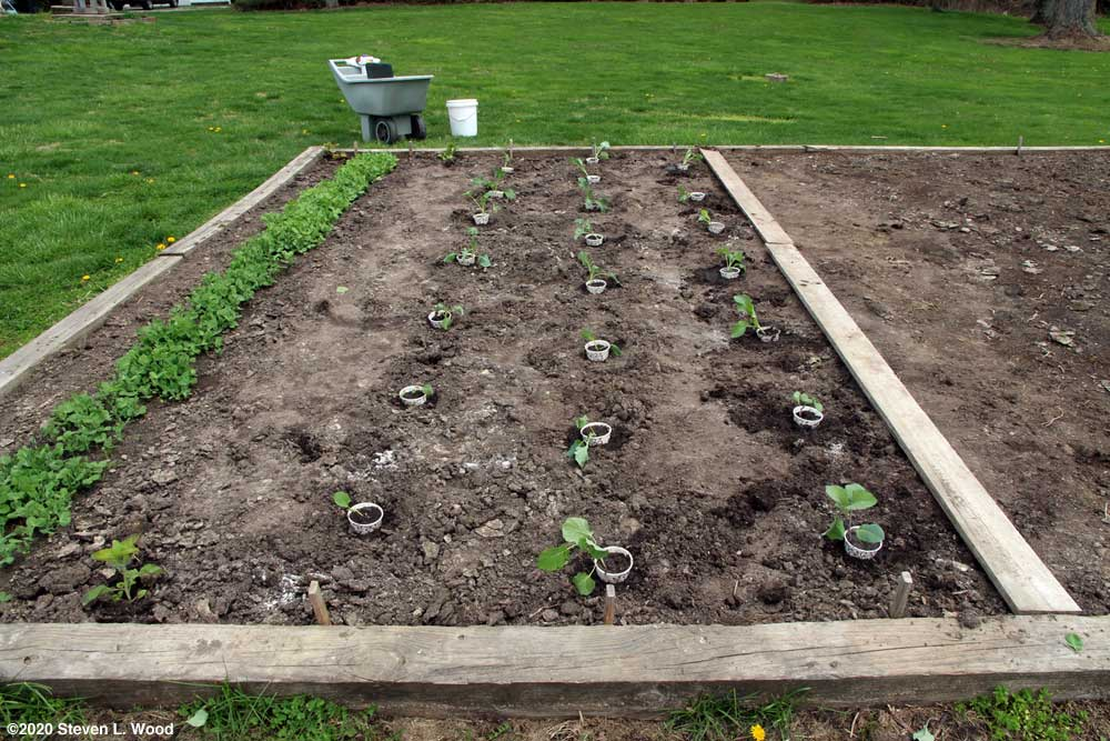 Brassicas transplanted