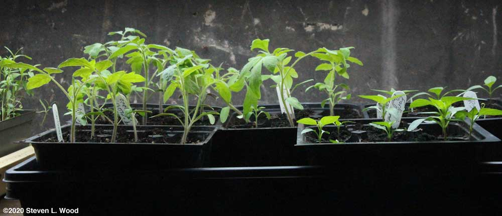 Earlirouge tomato and Earliest Red Sweet pepper transplants under lights