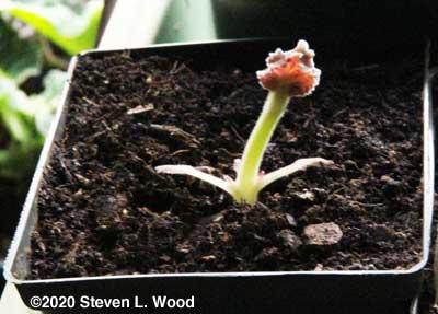 Gloxinia breaking dormancy with a tall stem