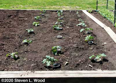 Broccoli and cauliflower uncovered