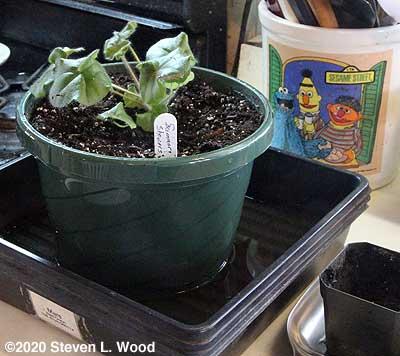 """Summer Showers ivy leaf geranium in 8"""" hanging basket pot"""