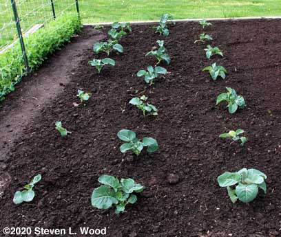 Three rows of brassicas (two rows of broccoli, one of cauliflower)