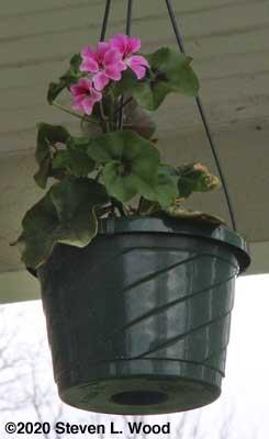 Tornado ivy leaf geranium beginning to bloom