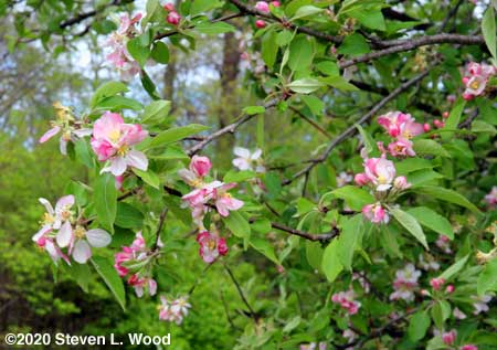 Yet more apple blossoms