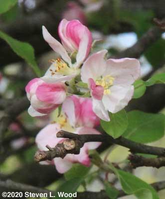 Lovely apple blossoms