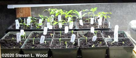 Melon plants emerging, with tomato and peppers in background
