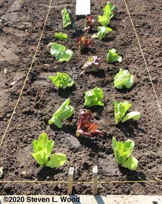 Spring lettuce transplanted