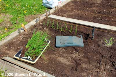 Transplanting onion plants