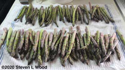 Part of the asparagus trimmed and sorted by size