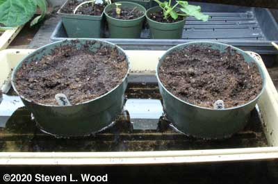 Bulb pans seeded to butternuts
