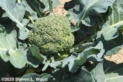 Goliath broccoli ready to pick