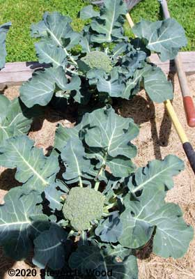 Castle Dome broccoli almost ready to cut