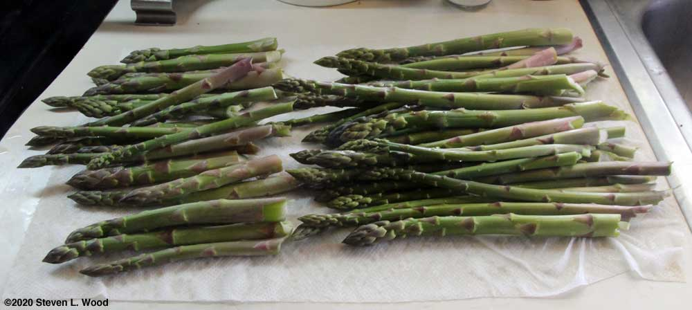 Today's asparagus picking