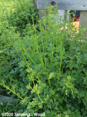 Second year parsley that may produce seed