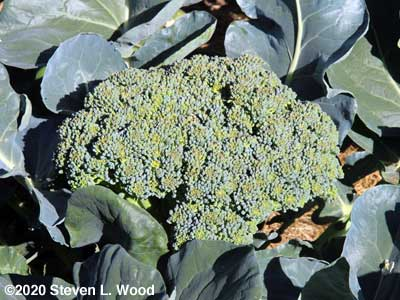 Huge head of Goliath broccoli going to seed