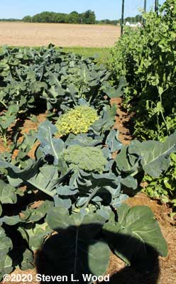 Row of Goliath broccoli beginning to bloom