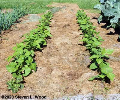 Green bean rows