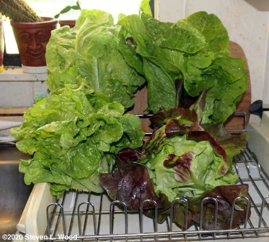 Lettuce drying on dish drainer