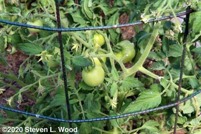 Tomatoes on Earlirouge plants