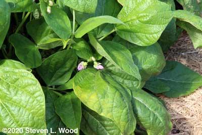 Provider green bean plant blossoming