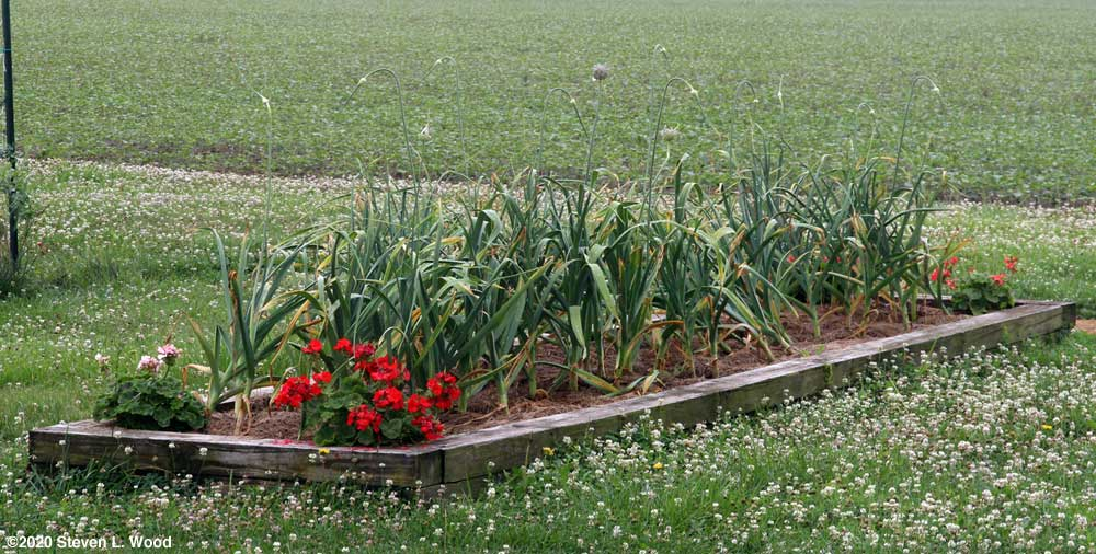 Garlic almost ready for harvest