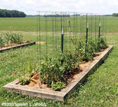 Narrow raised bed of Earlirouge tomatoes